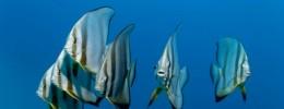 Escucha el curioso sonido de un coro de peces cantando en las profundidades