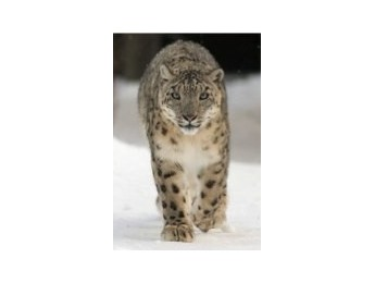 Apple enfría al leopardo