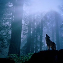 Wolves Sense Fear