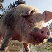 Cerdo intolerante