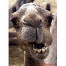 Camellos en Triana