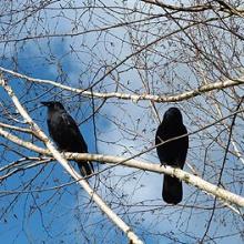 Vi dos cuervos (Oh-Dah)