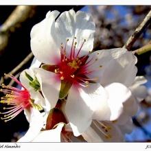 Las flores del almendro