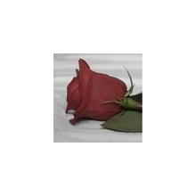 Winter Red Rose