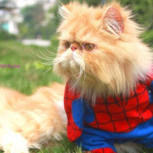 """Gato espaiderman"" (Spidercat)"