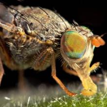 Las moscas de la fruta